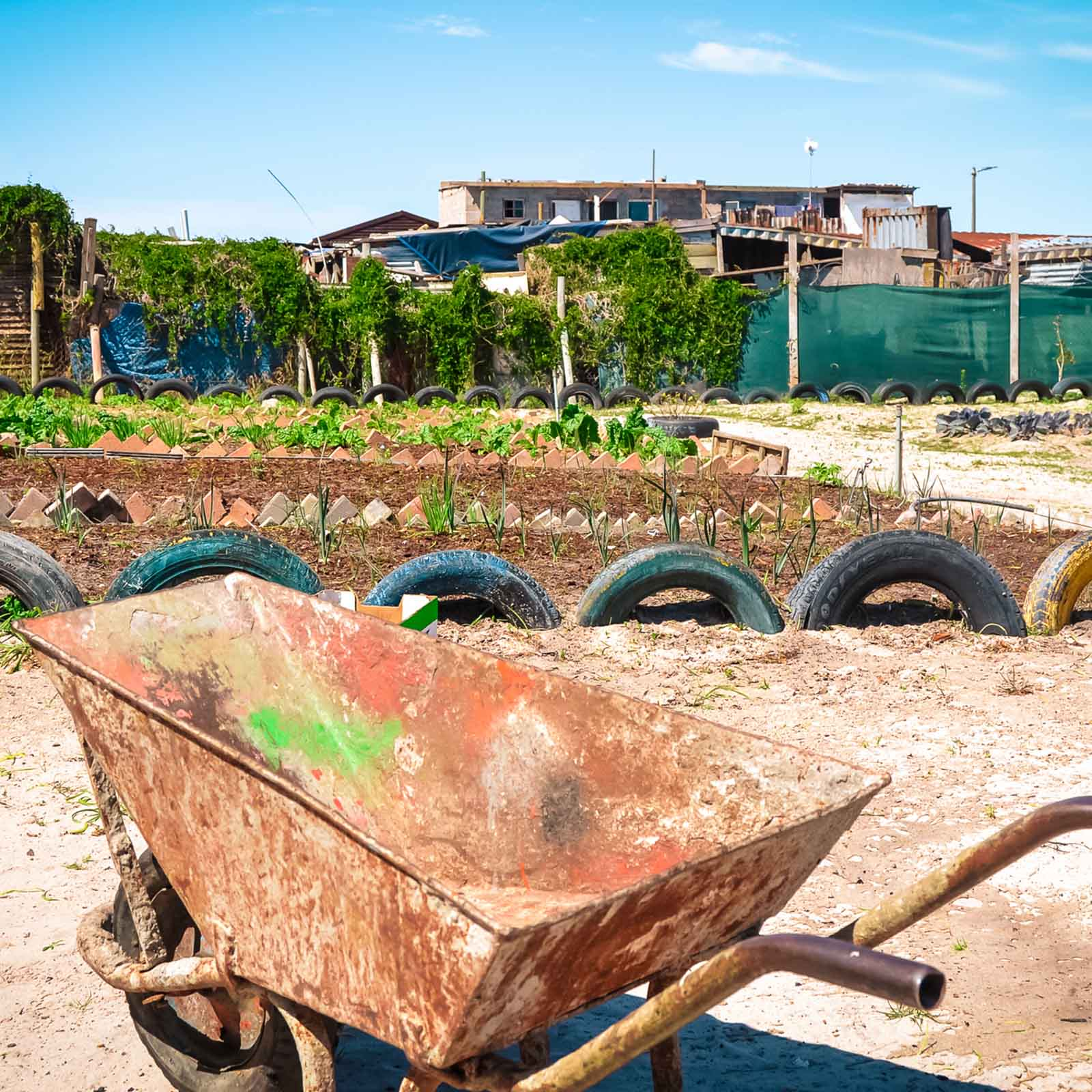 a rusty wheelbarrow standing before an urban farm in cape town where urban vegetable farming is needed to feed people at the soup kitchen